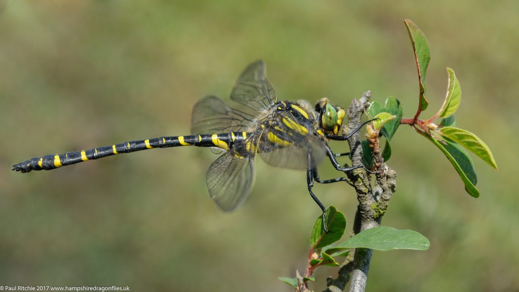 Golden-ringed (Cordulegaster boltonii) - male