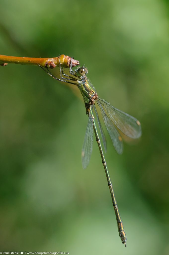Willow Emerald (Lestes viridis) - male