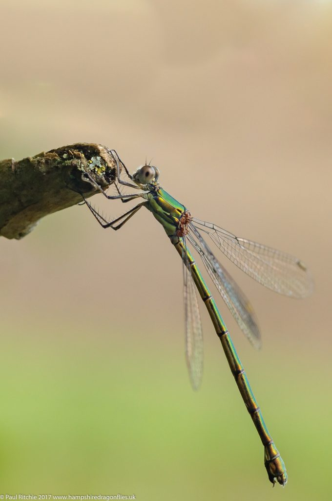 Willow Emerald (Lestes viridis) - female