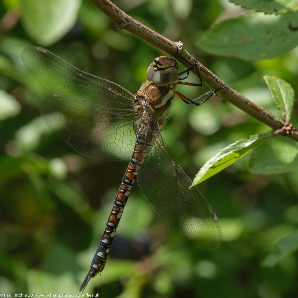 Migrant Hawker (Aeshna mixta) - immature female