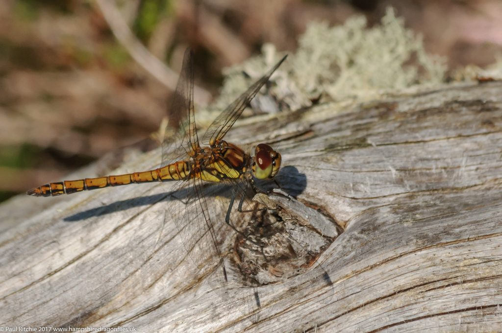 Highland (Common Darter (Sympetrum striolatum_ - immature male