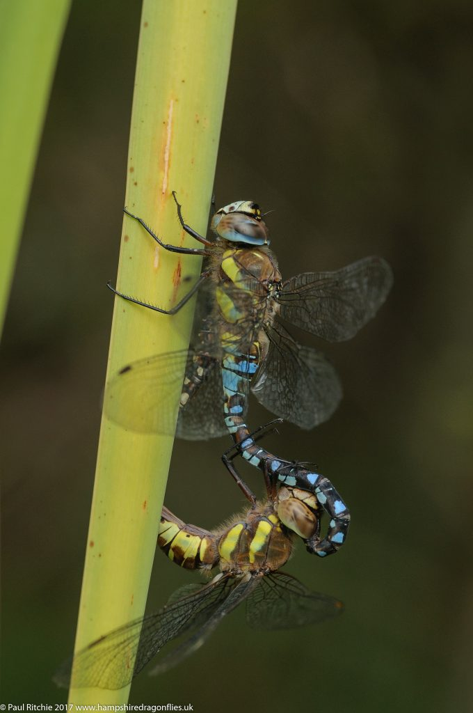 Migrant Hawkers (Aeshna mixta) - pair in-cop