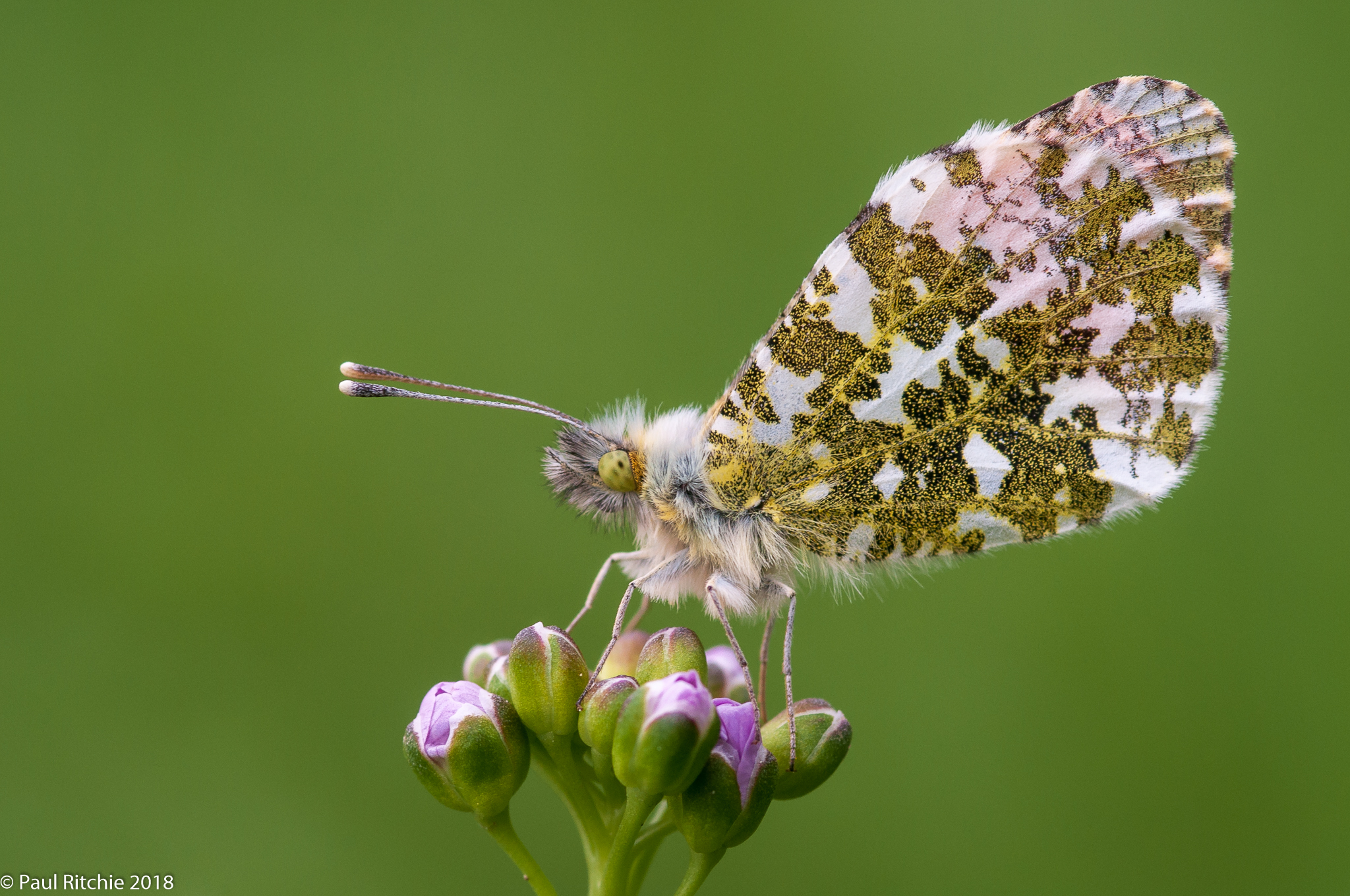 Orange-tip (Anthocharis cardimines) - male on Cuckoo Flower