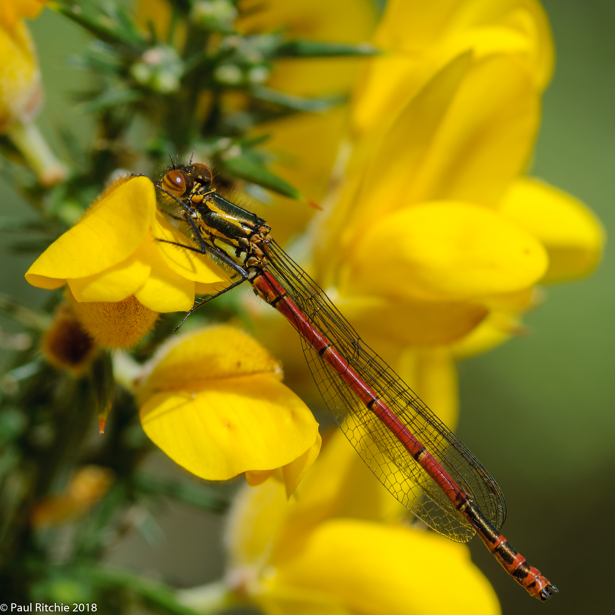 Large Red Damselfly (Pyrrhosoma nymphula) - male