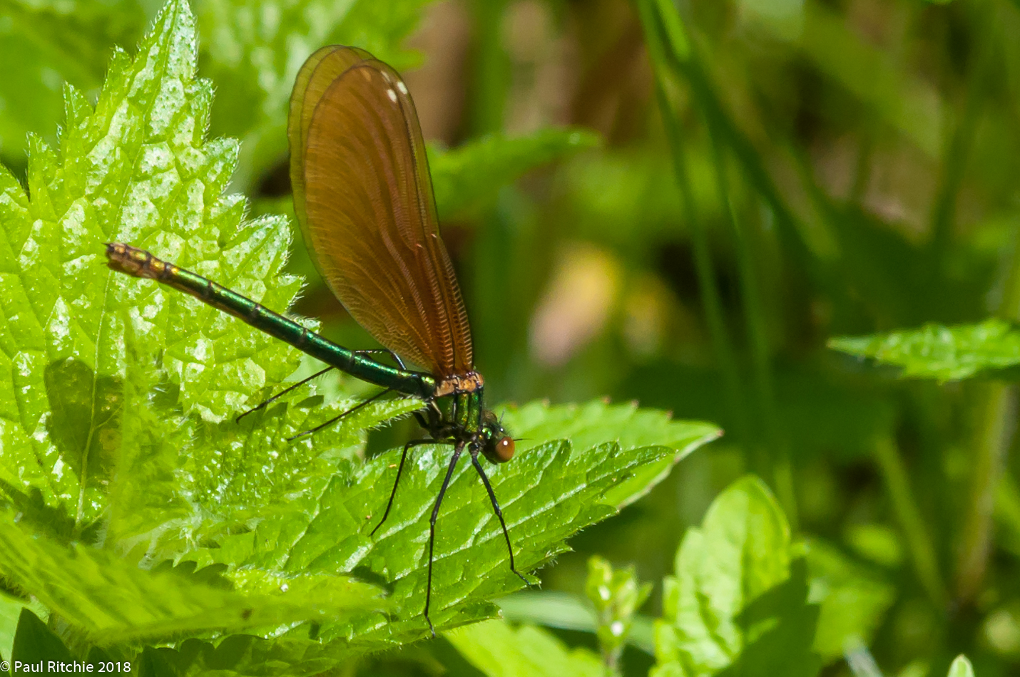 Beautiful Demoiselle (Calopteryx virgo) - female