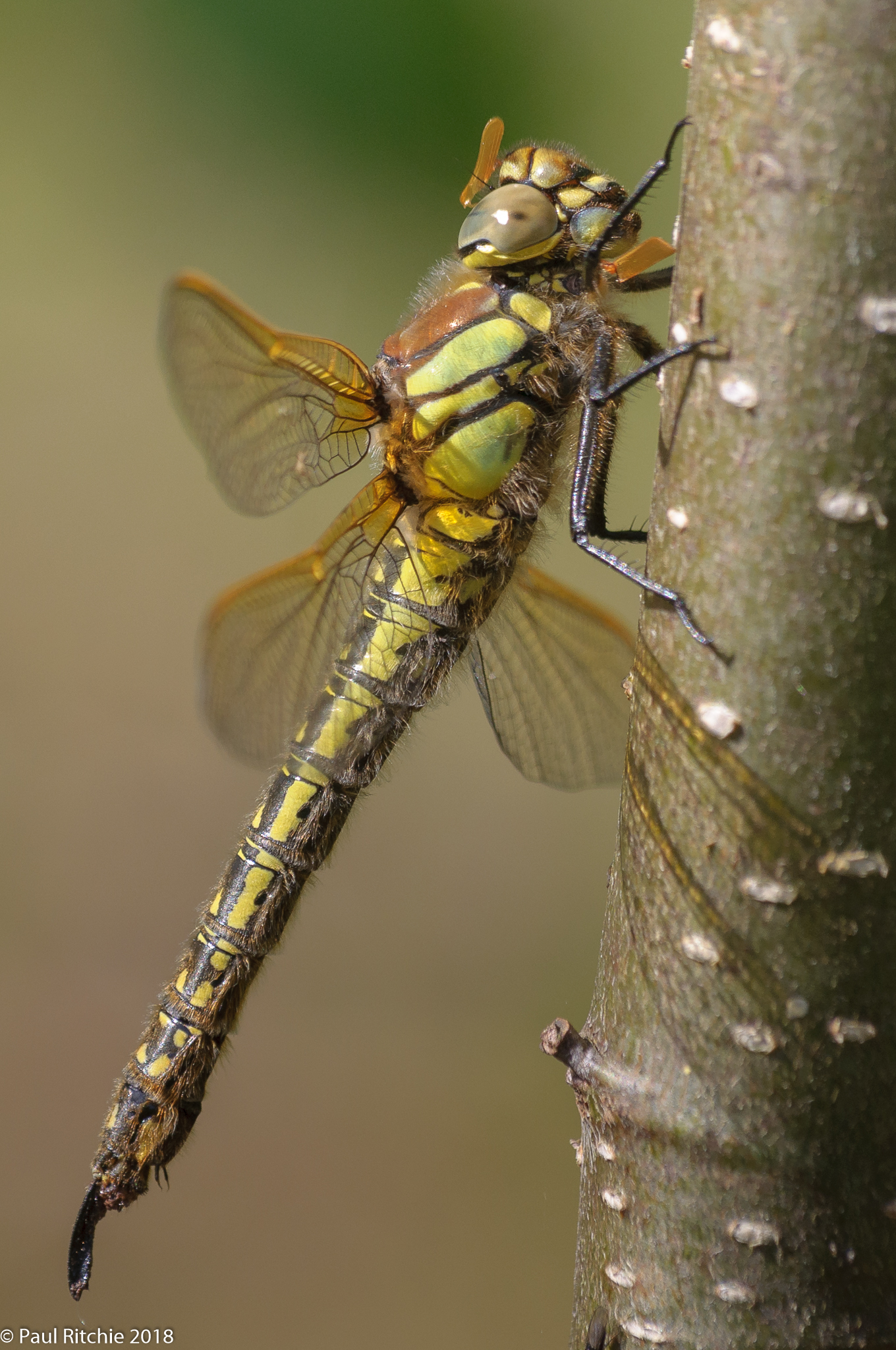 Hairy Dragonfly (Brachytron pratense) - female