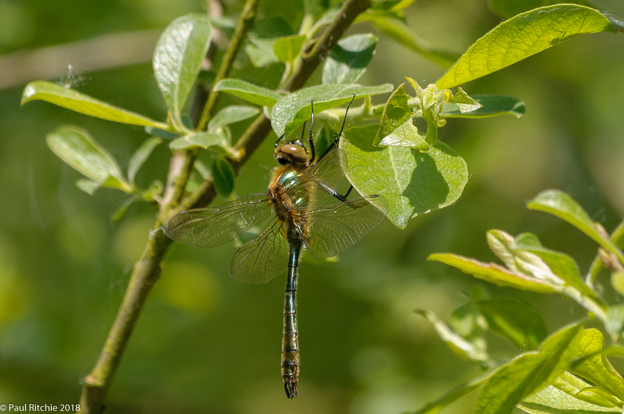 Downy Emerald (Cordulia aenea) Immature male