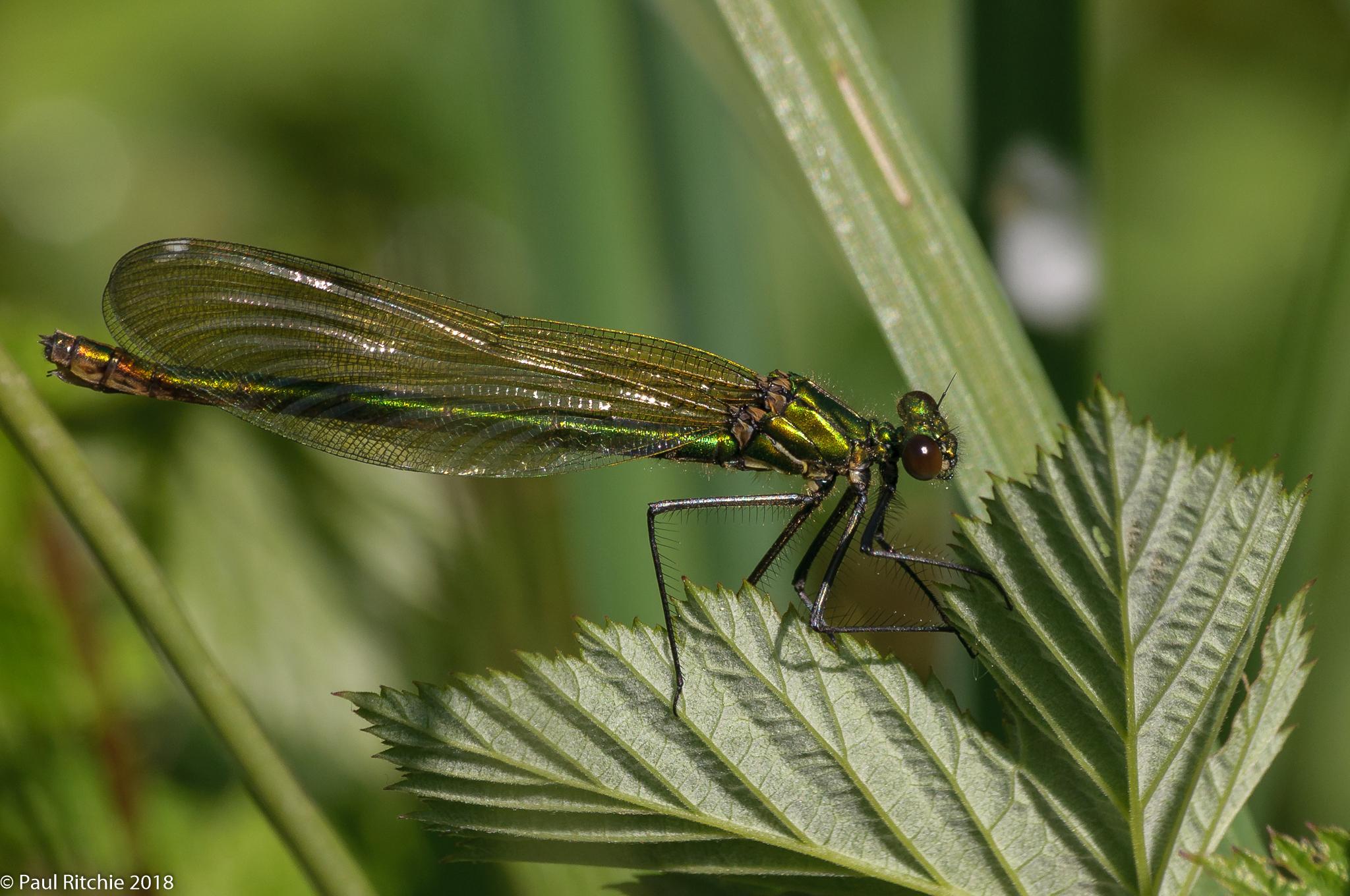 Banded Demoiselle (Calopteryx splendens) - female