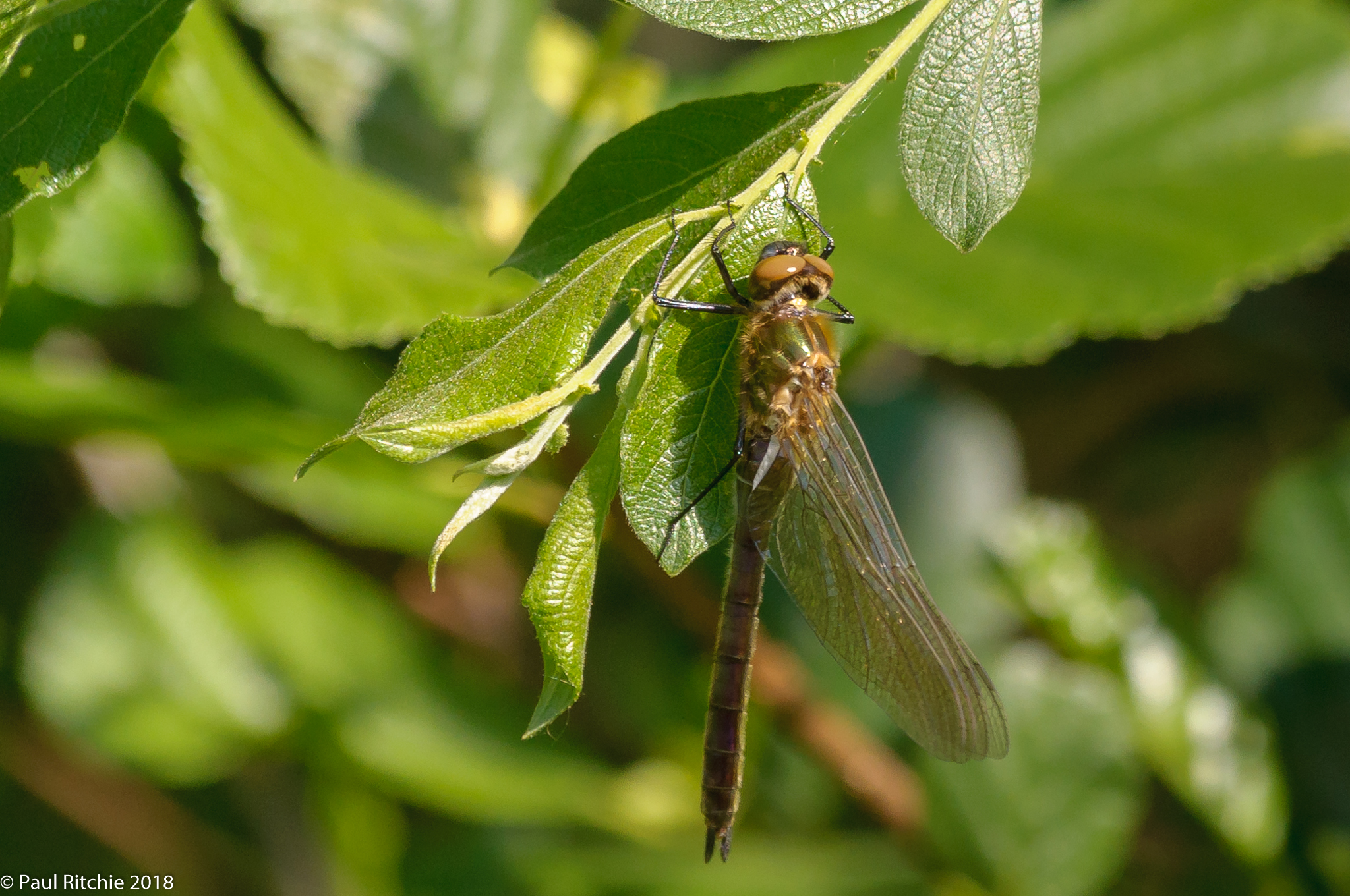 Downy Emerald (Cordulia aenea) - teneral female