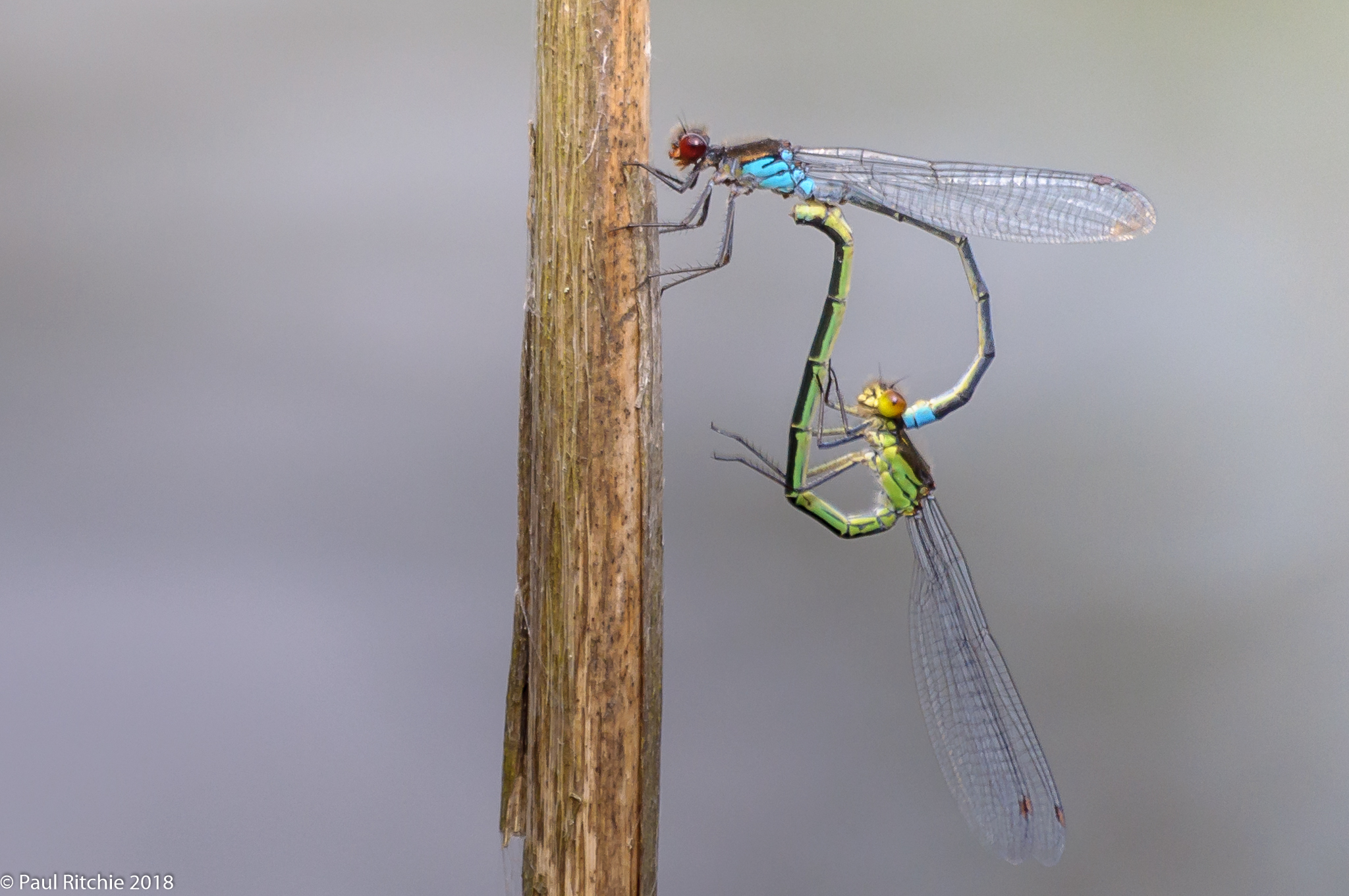 Red-eyed Damselflies (Erythromma najas) - pair in-cop