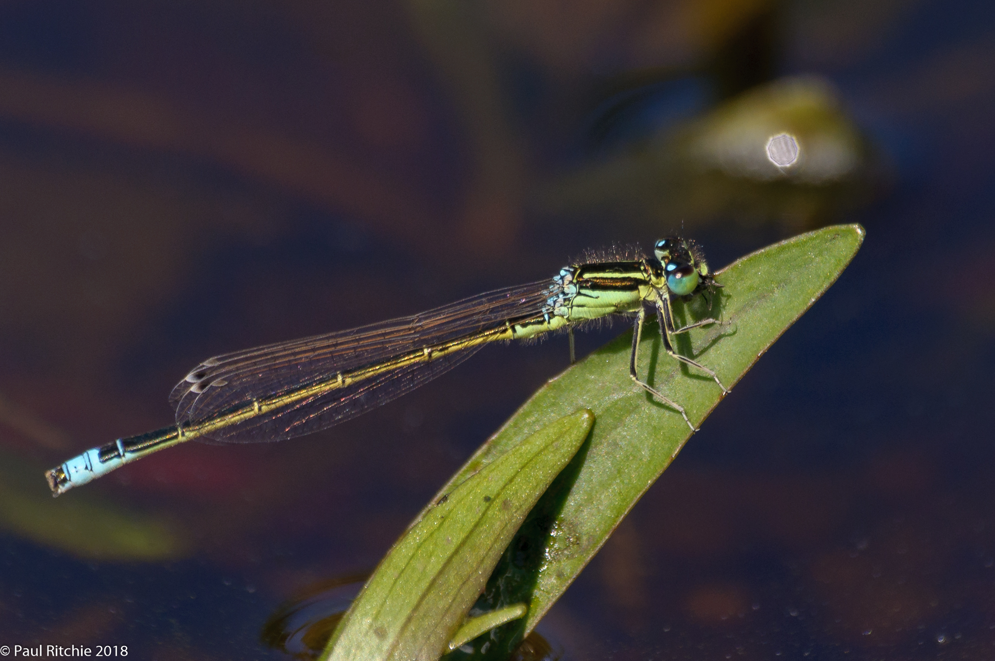 Scarce Blue-tailed Damselfly (Ischnura pumilio) - male