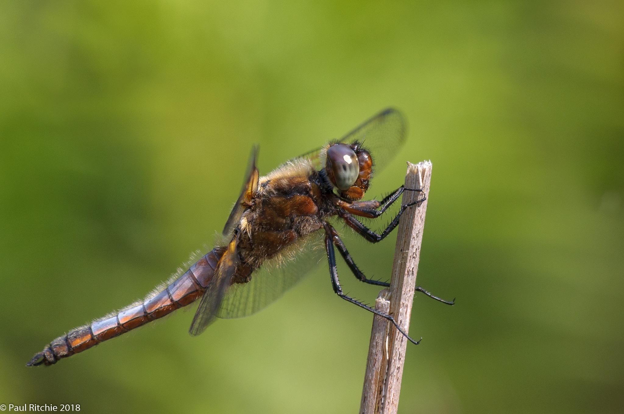 Scarce Chaser ( Libellula fulva) - immature male