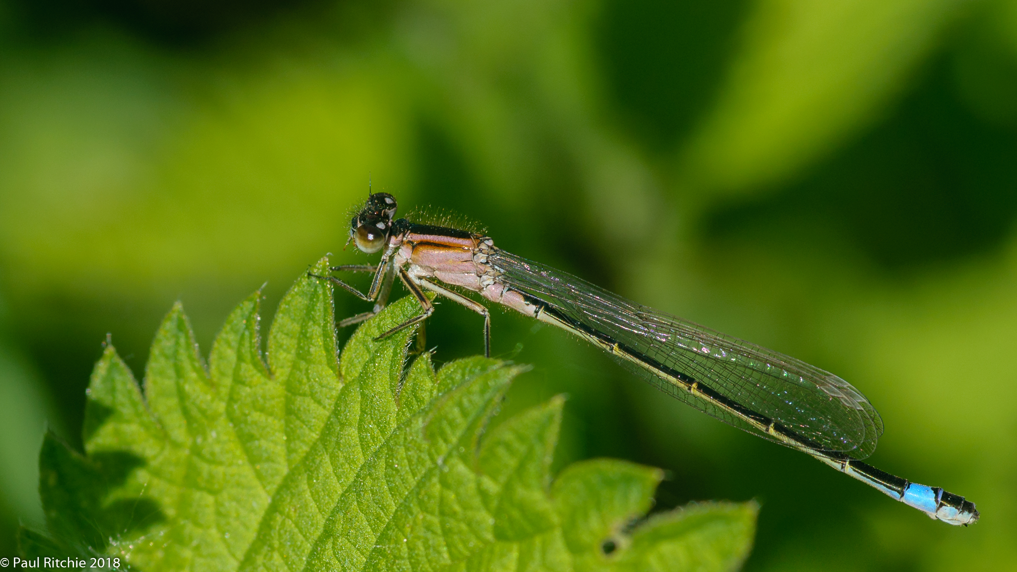 Blue-tailed Damselfly (Ischnura elegans) - immature female (rufenscens)