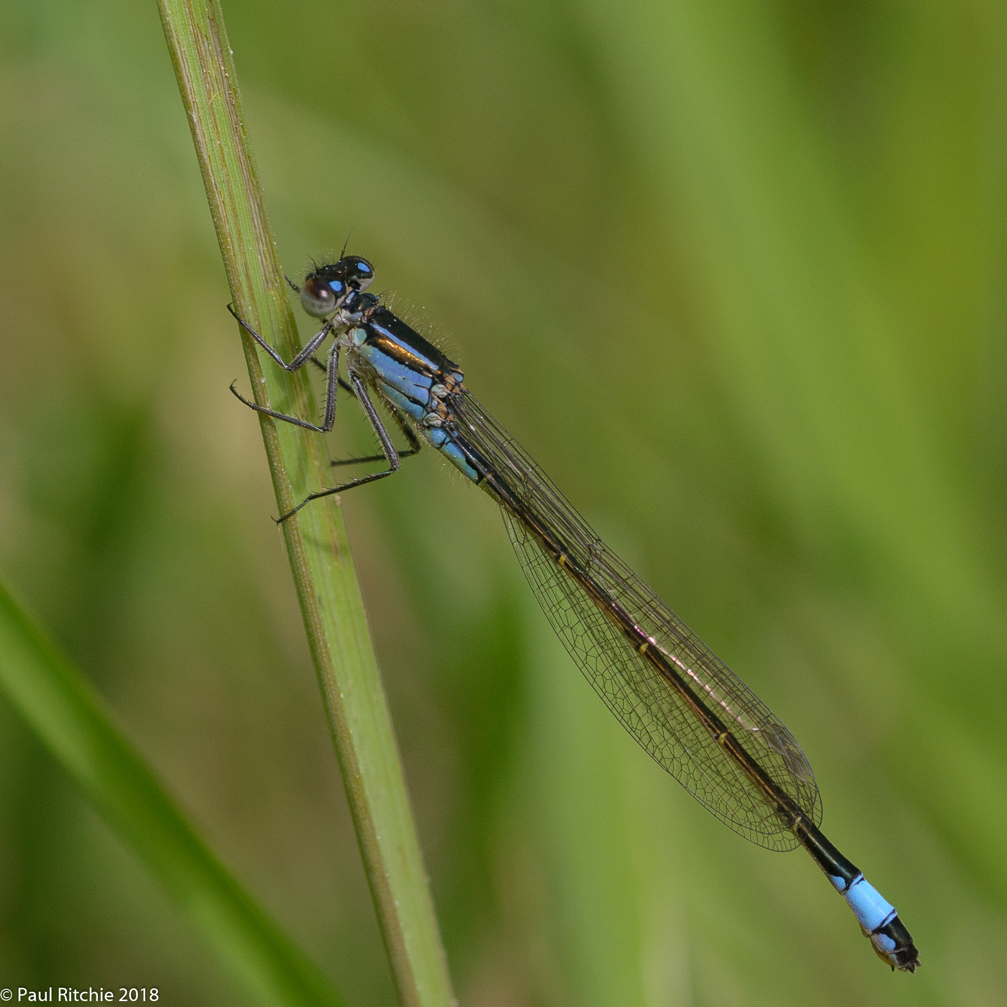 Blue-tailed Damselfly (Ischnura elegans) - female (violacea)