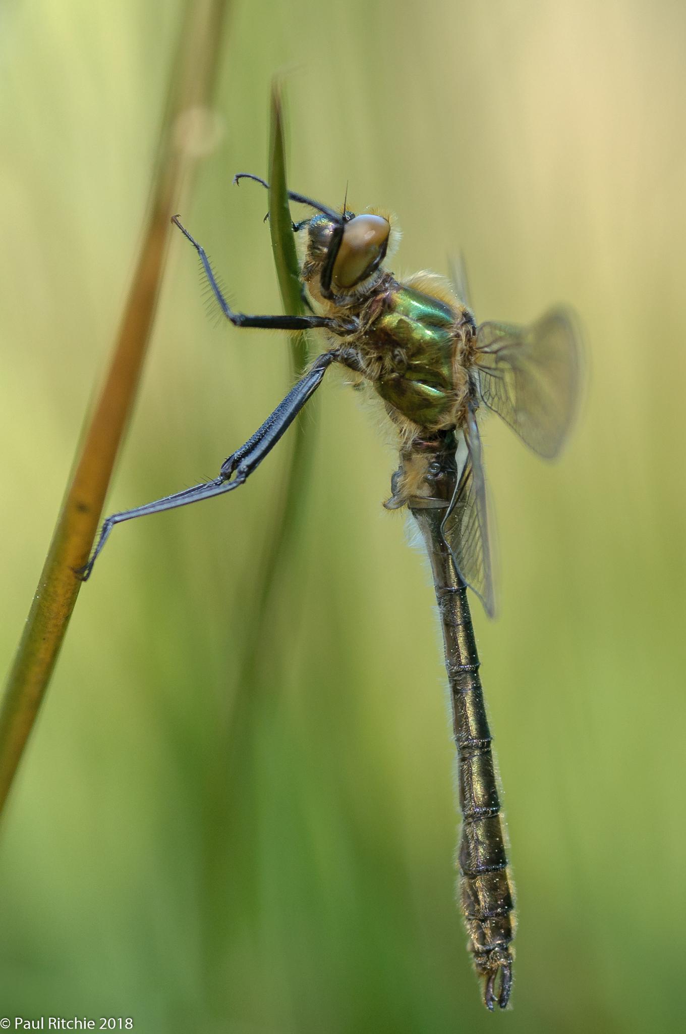 Downy Emerald (Cordulia aenea) - teneral male