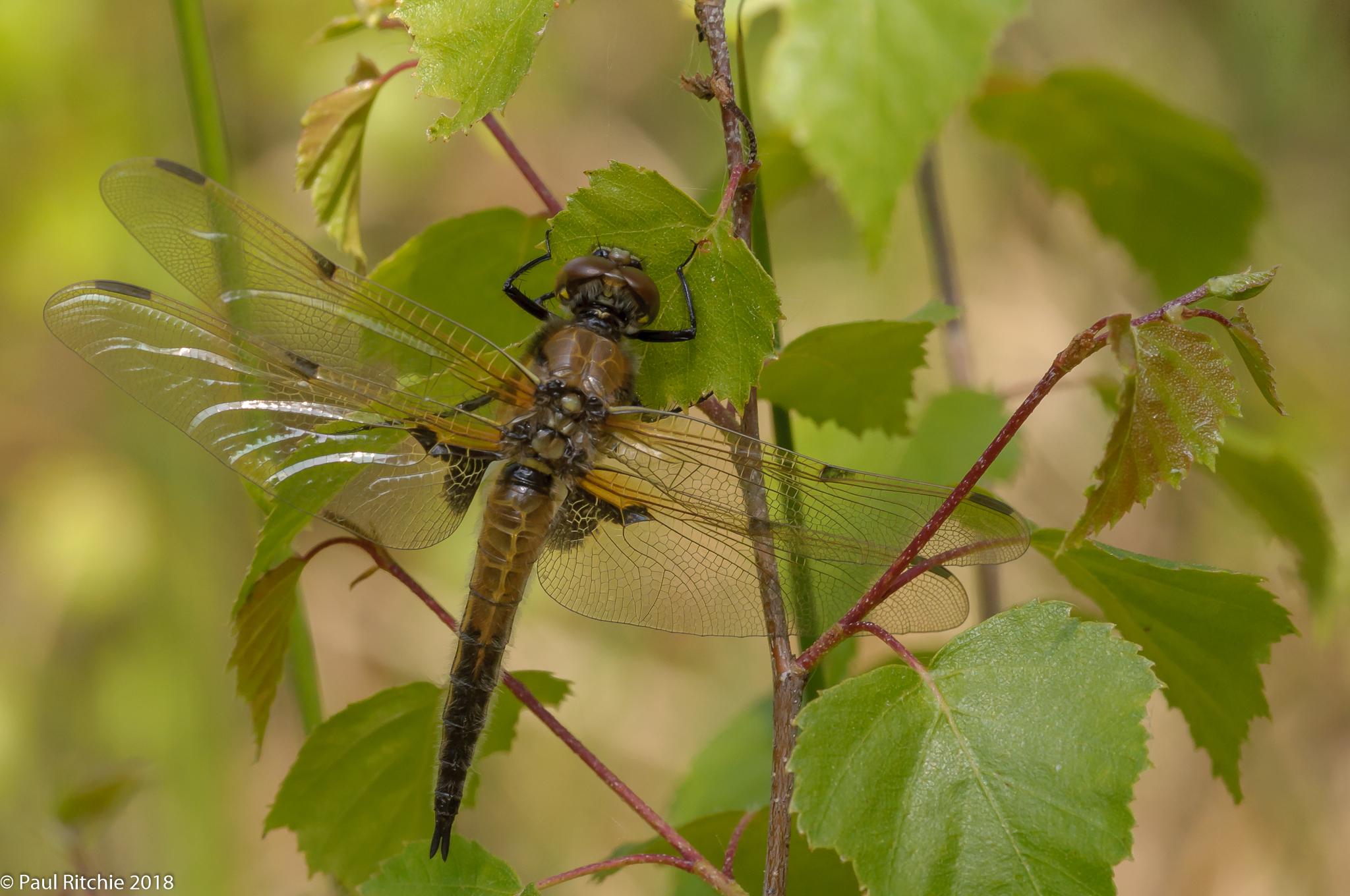 Four-spotted Chaser (Libellula quadrimaculata) - teneral male