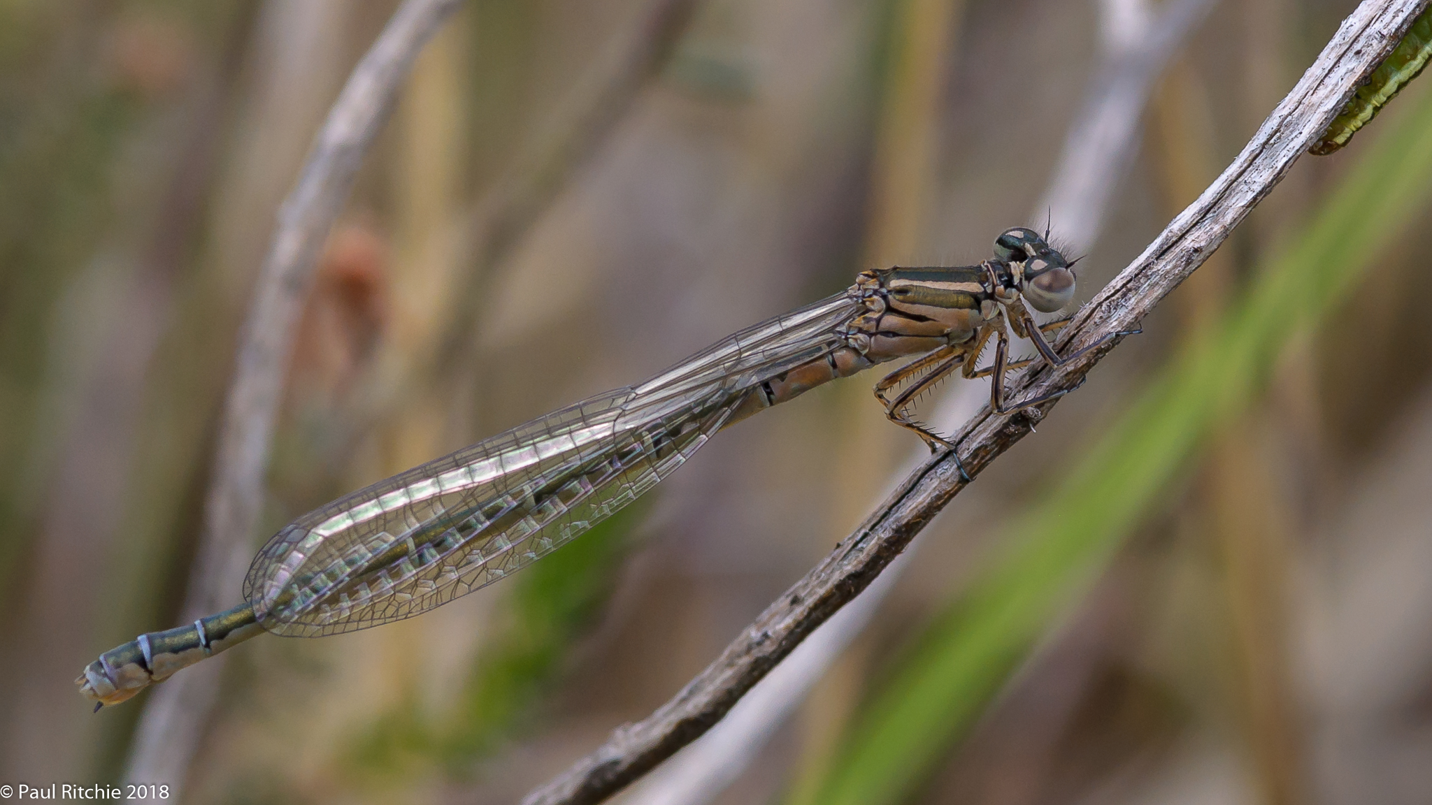 Southern Damselfly (Coenagrion mercuriale) - teneral female