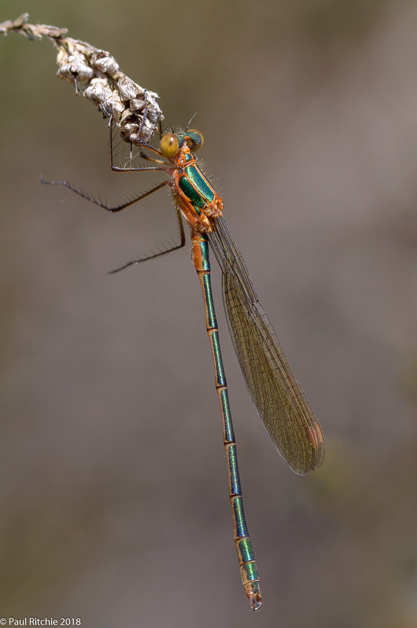 Emerald Damselfy (Lestes sponsa) - immature male