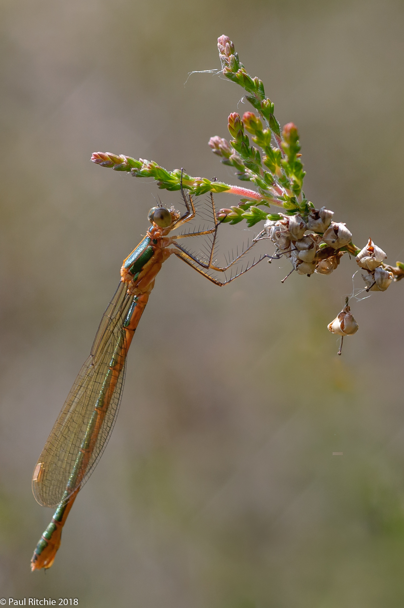 Emerald Damselfy (Lestes sponsa) - immature female