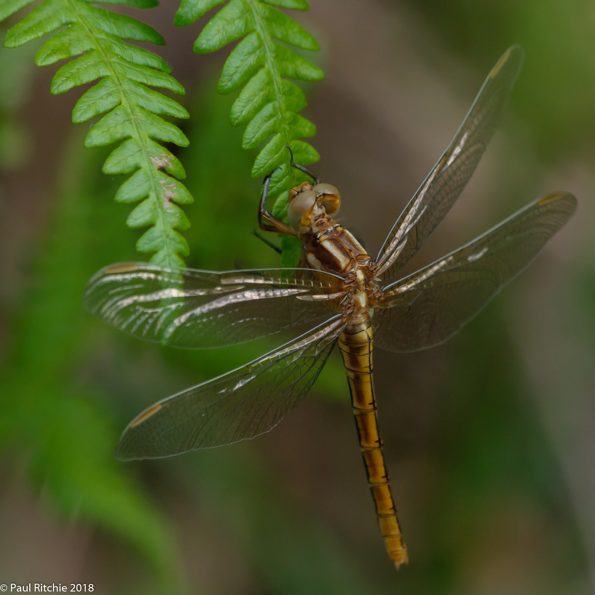 Keeled Skimmer )Orthetrum coerulescens) - teneral female