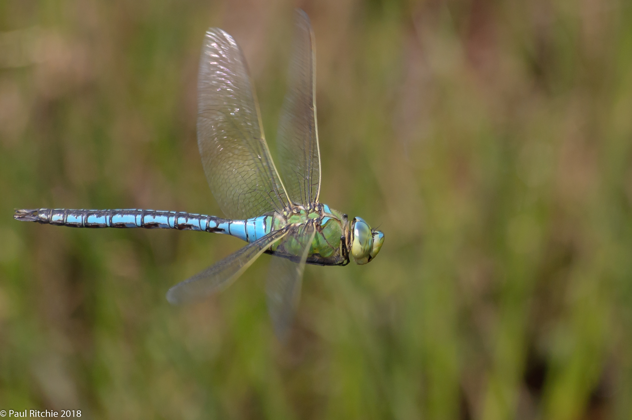(Blue) Emperor (Anax imperator) - male