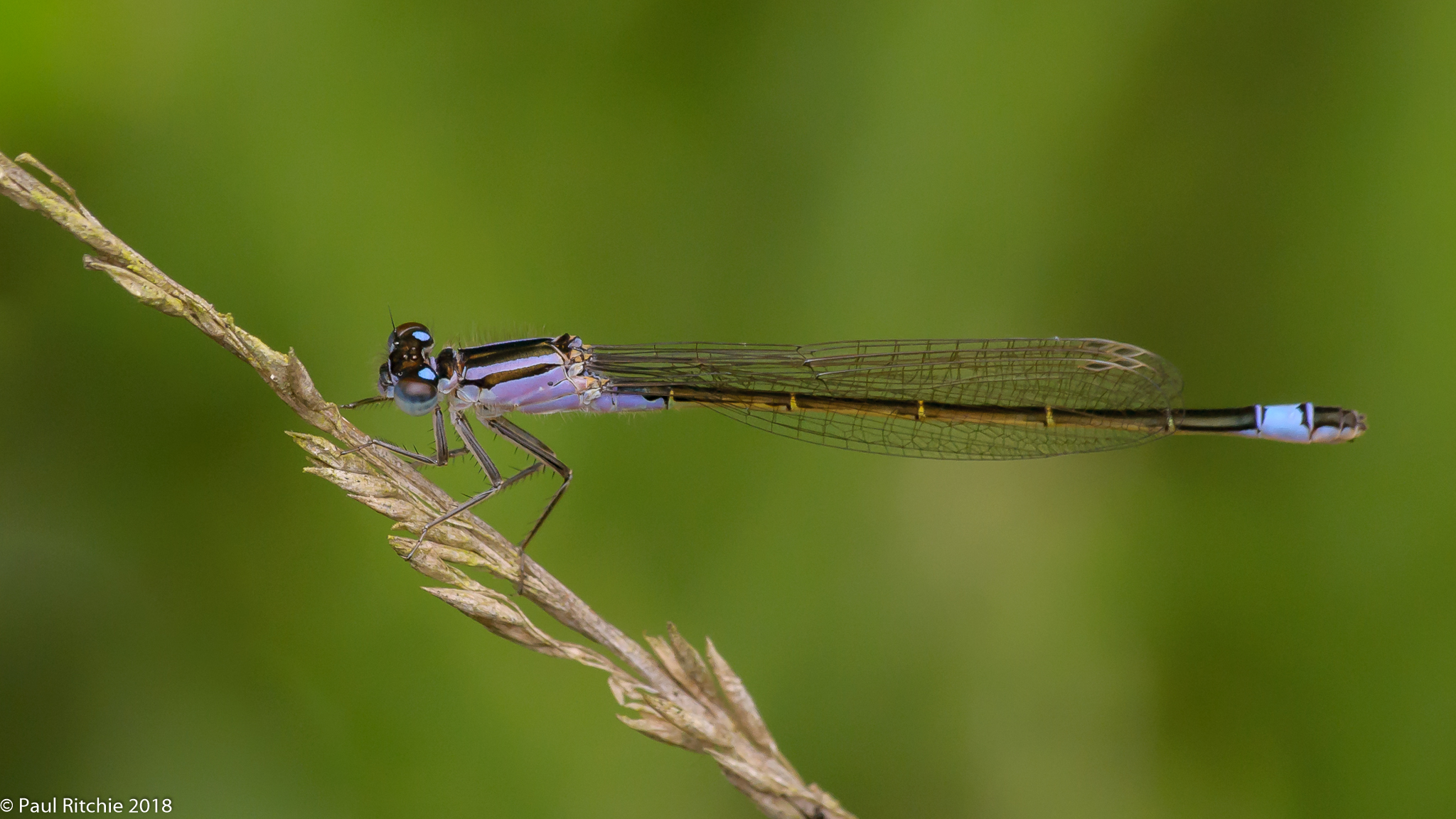 Blue-tailed Damselfly (Ischnura elegans) - female violacea form