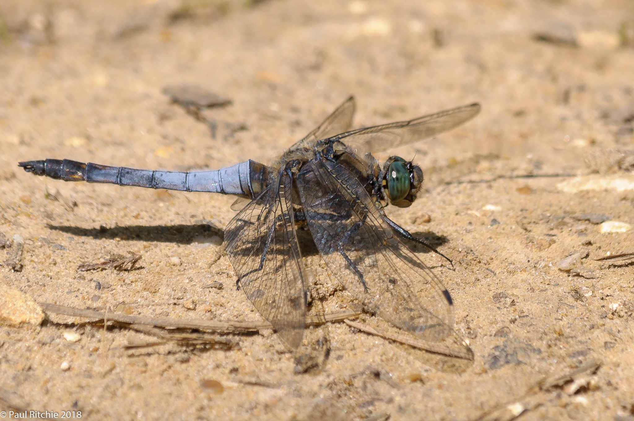 Black-tailed Skimmer (Orthetrum cancellatum) - male