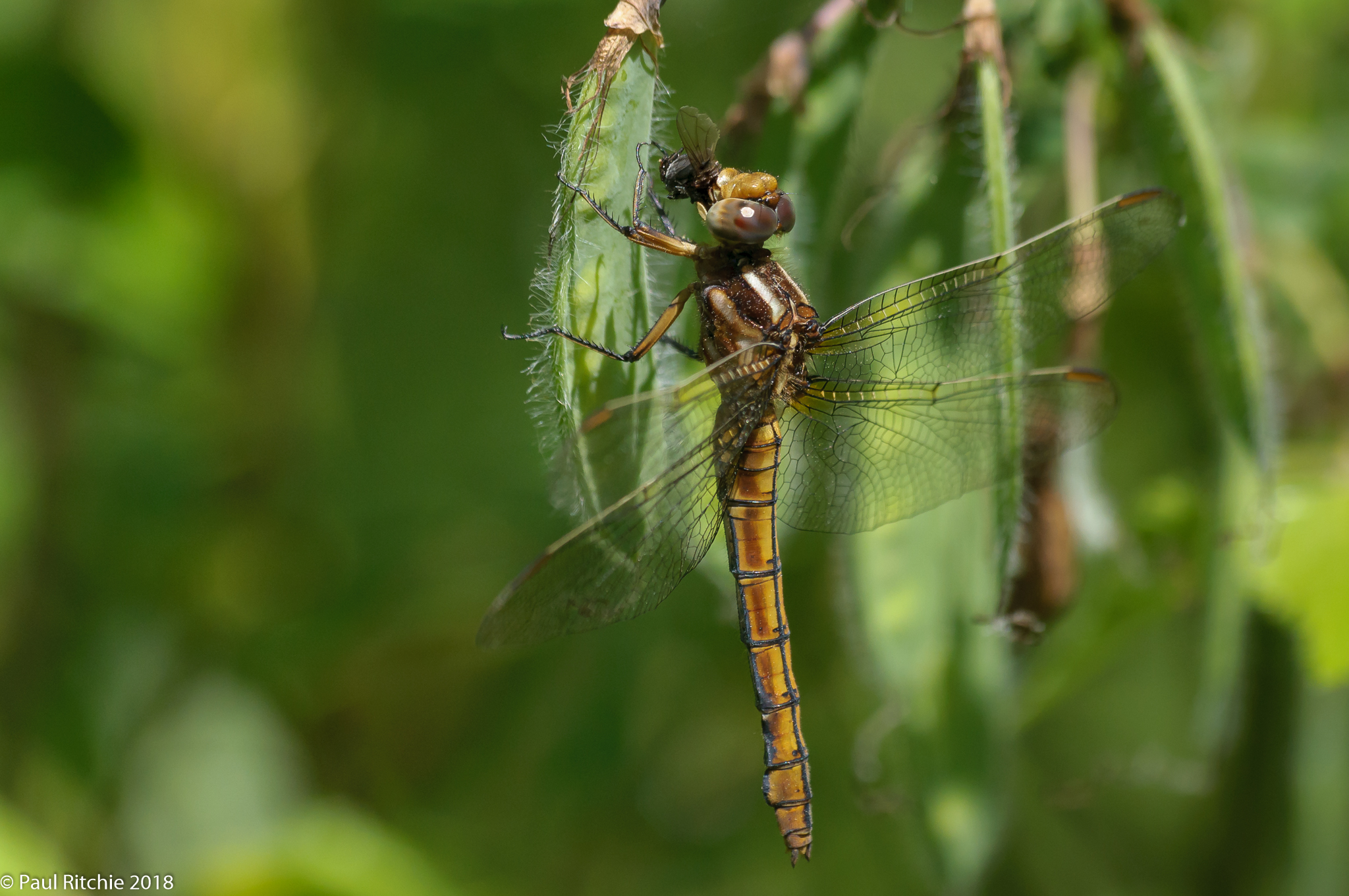 Keeled Skimmer (Orthetrum coerulescens) - female