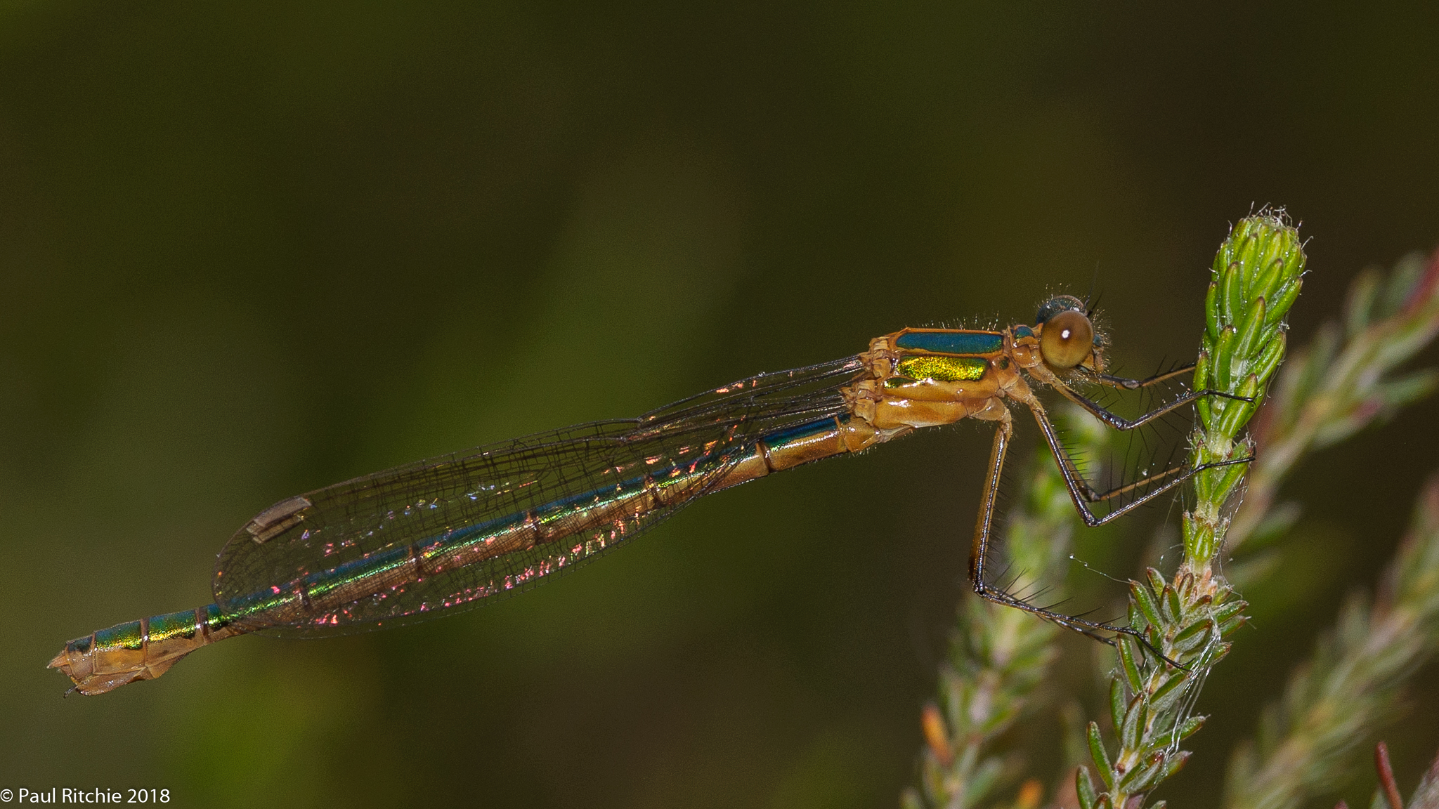 Common Emerald Damselfly (Lestes sponsa) - immature female