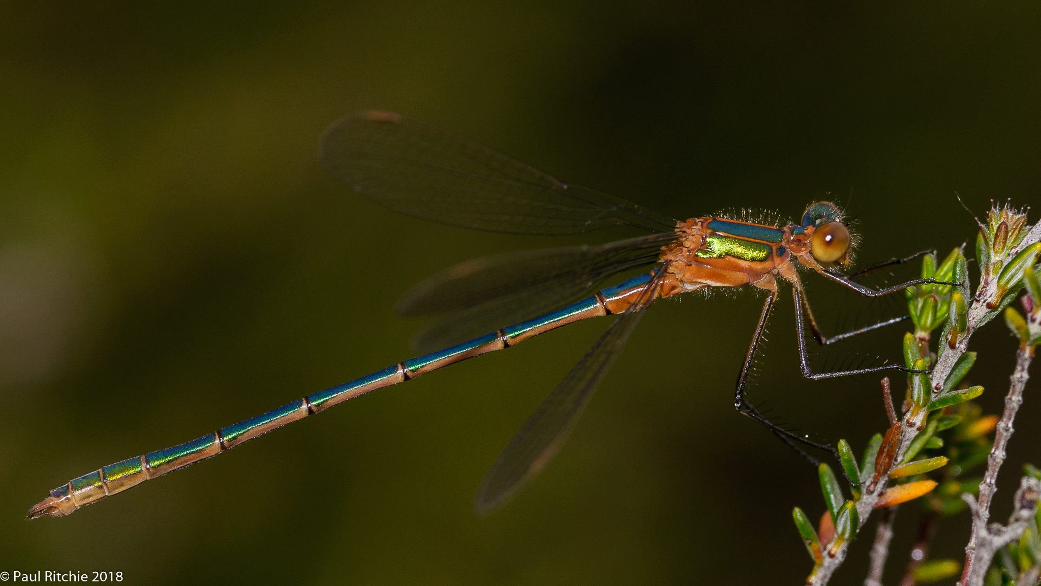 Common Emerald Damselfly (Lestes sponsa) - immature male