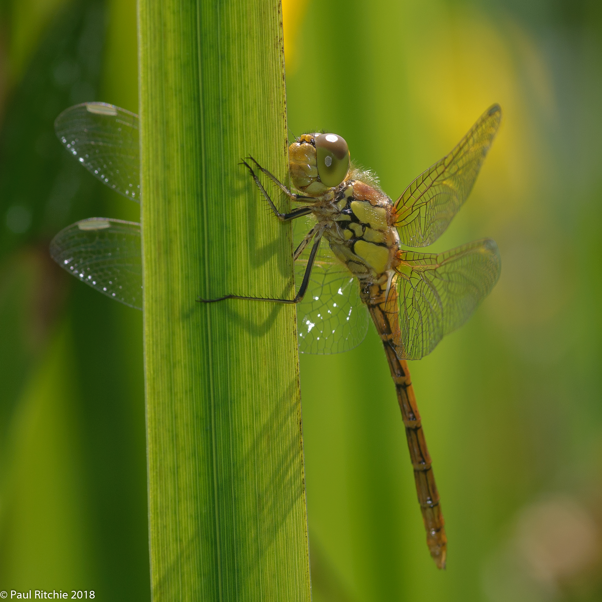 Common Darter (Sympetrum striolatum) - teneral male
