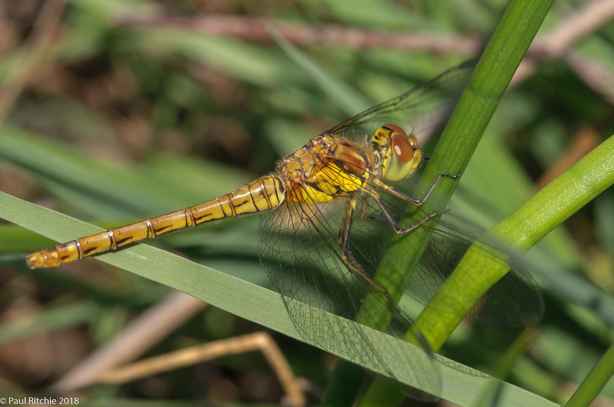 Common Darter (Sympetrum striolatum) - immature female