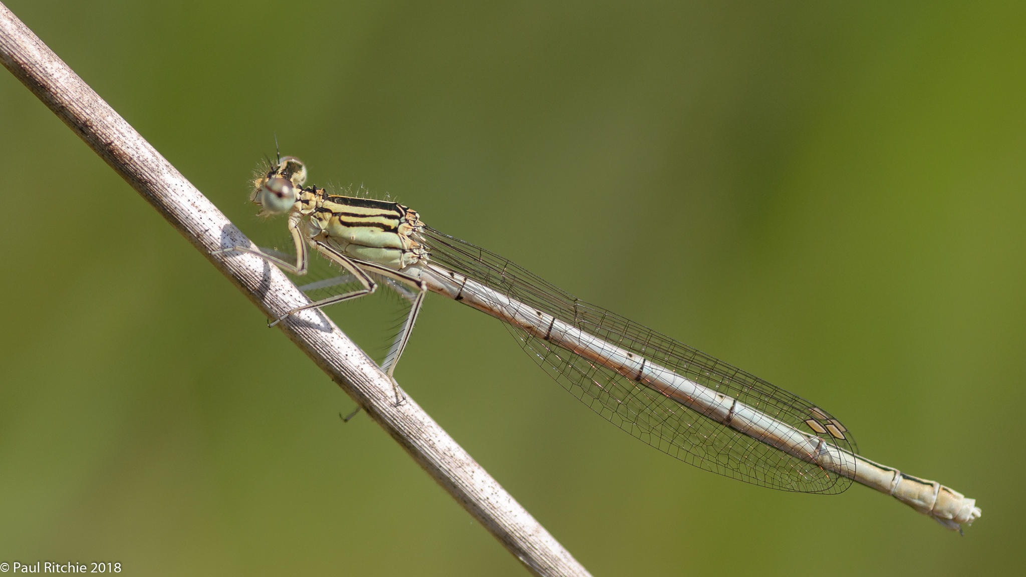 White-legged Damselfly (Platycnemis pennipes) - female