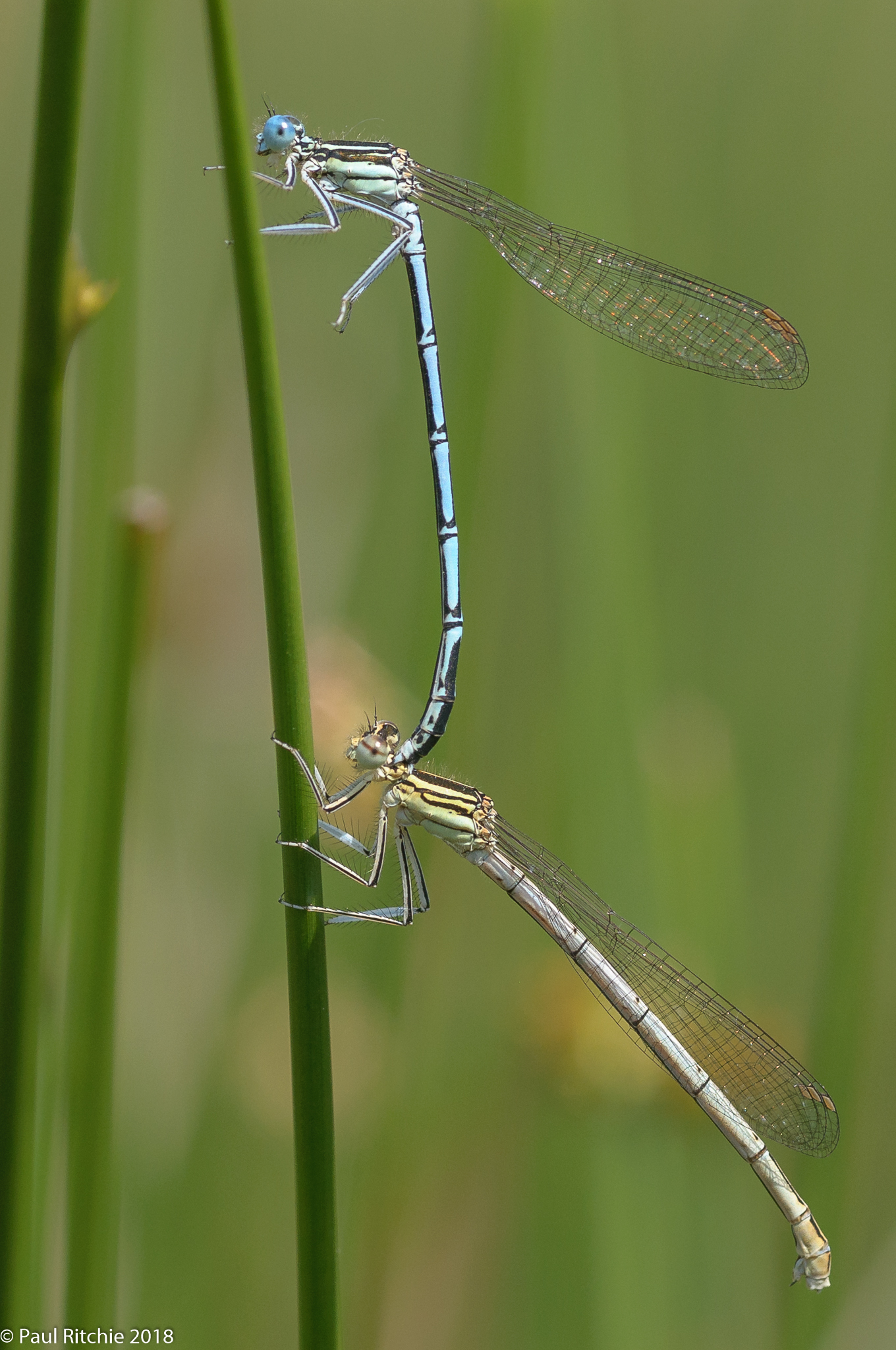 White-legged Damselflies (Platycnemis pennipes) - pair in tandem