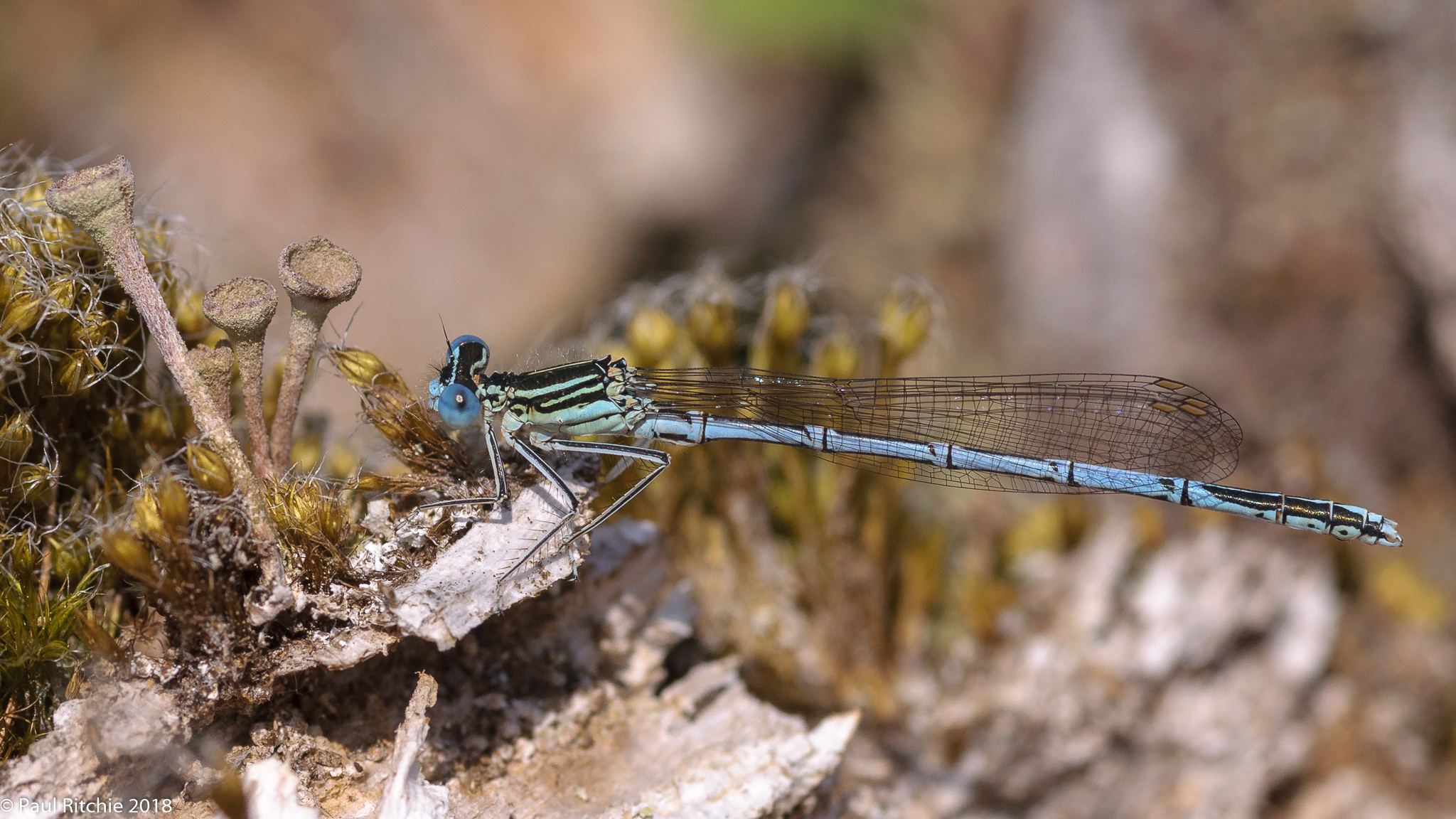White-legged Damselflies (Platycnemis pennipes) - male