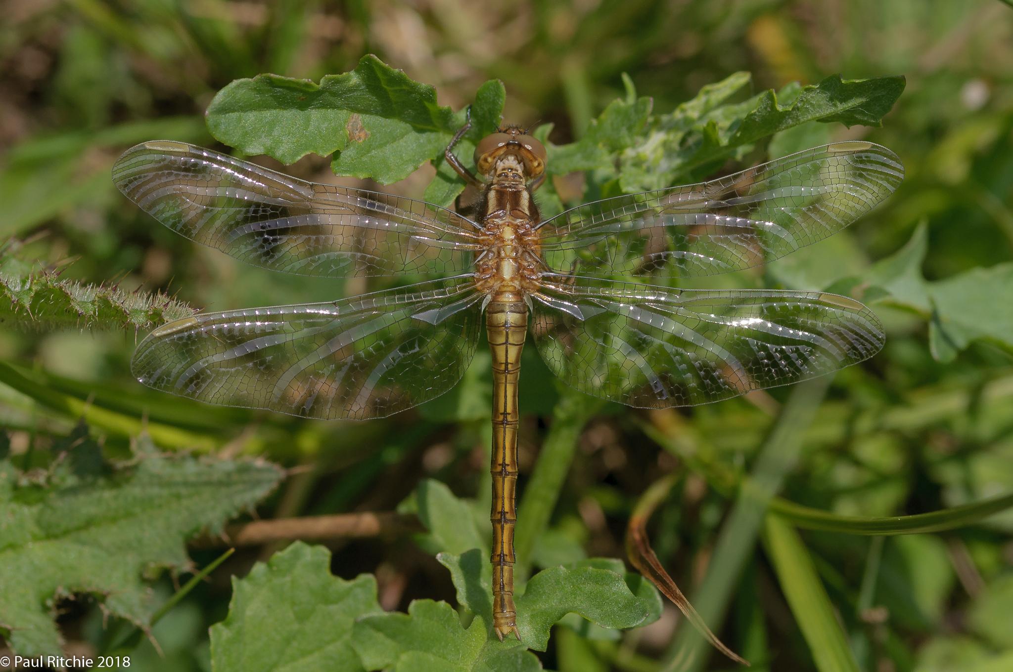 Keeled Skimmer (Orthetrum coerulescens) - teneral female