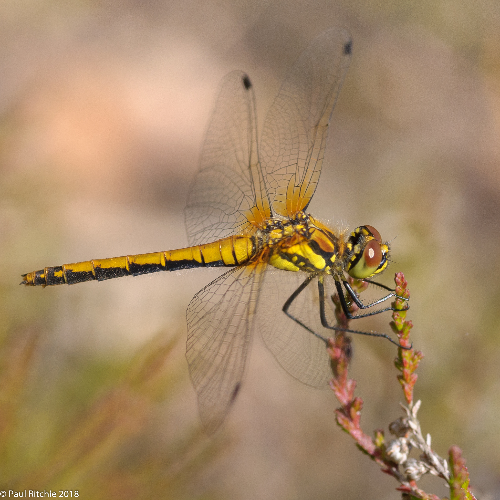 Black Darter (Sympetrum danae) - immature female