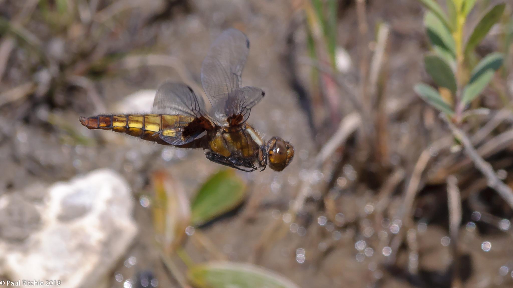 Broad-bodied Chaser (Libellula depressa) - female
