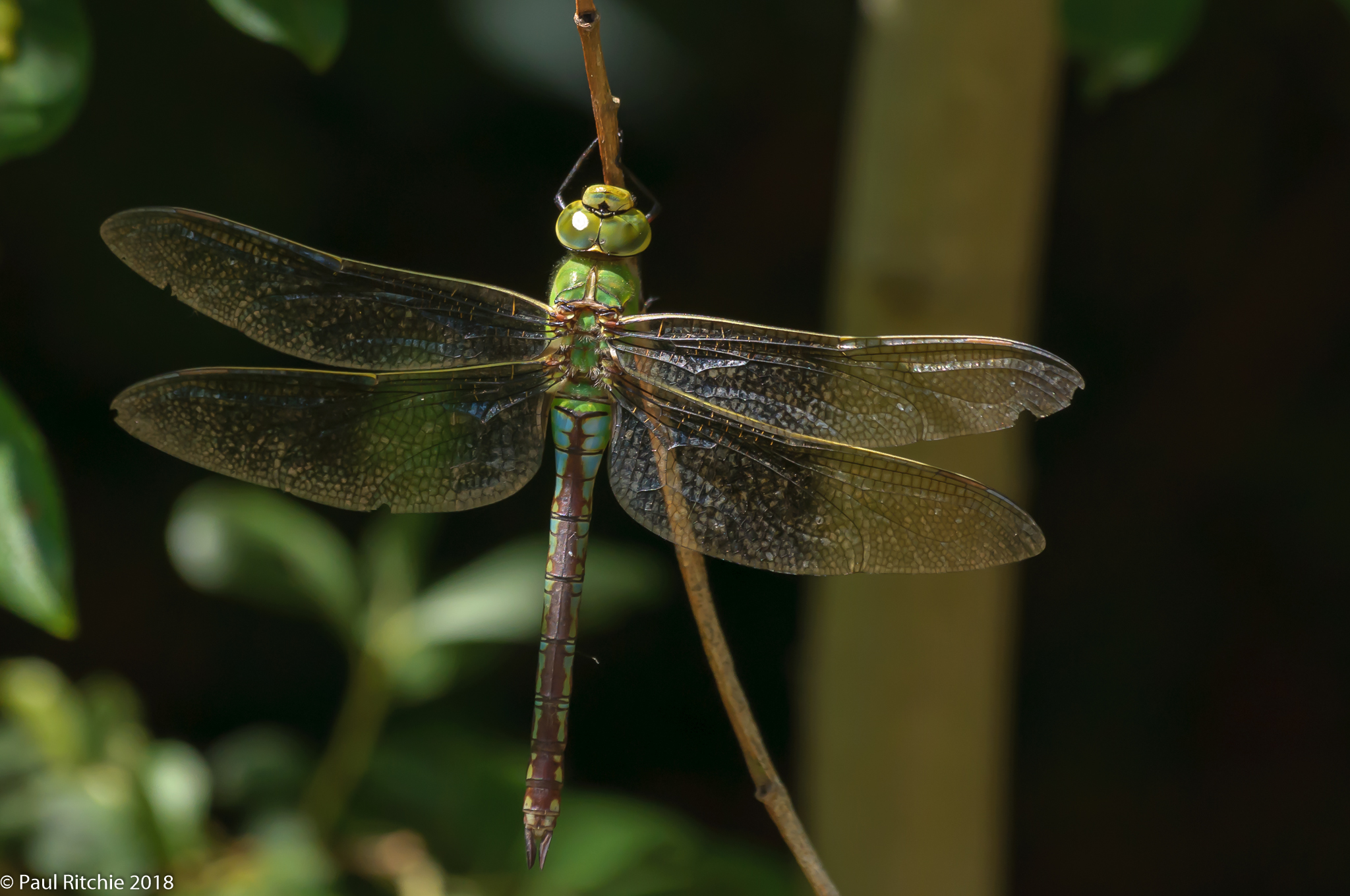 Emperor (Anax imperator) - female