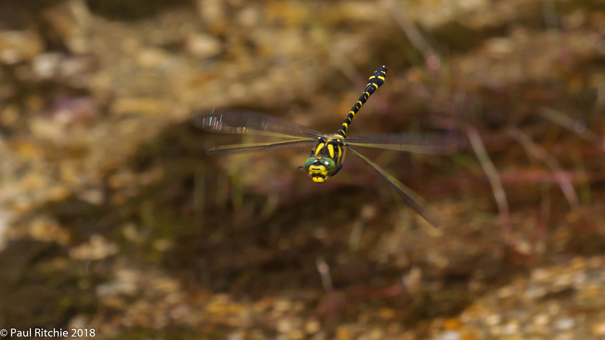 Golden-ringed Dragonfly (Cordulegaster boltonii) - male on patrol