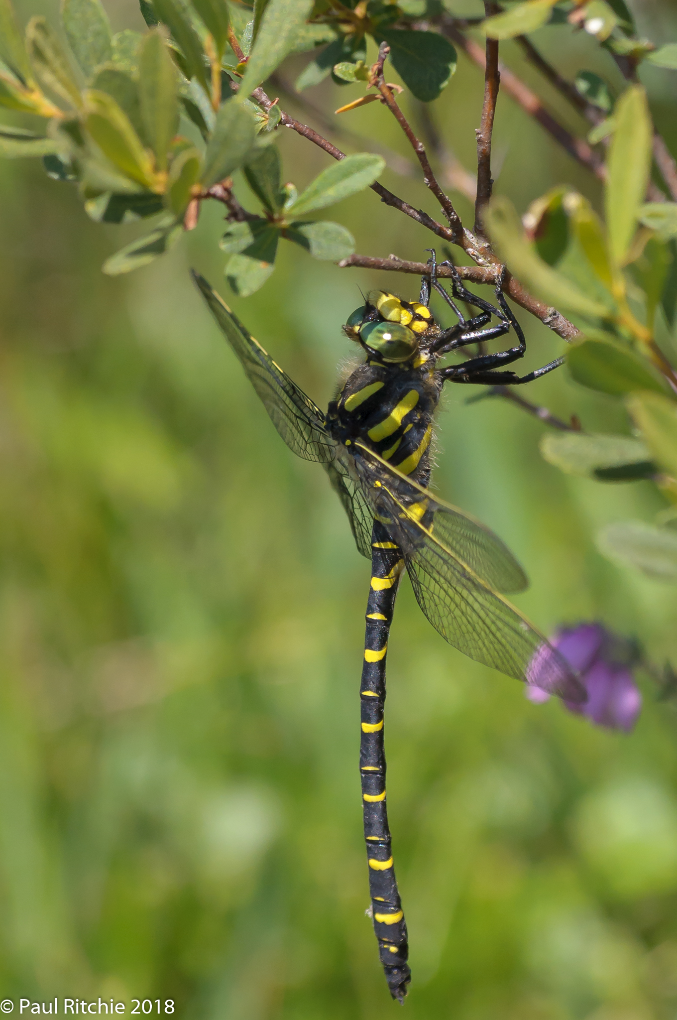 Golden-ringed Dragonfly (Cordulegaster boltonii) - male on Bog Myrtle
