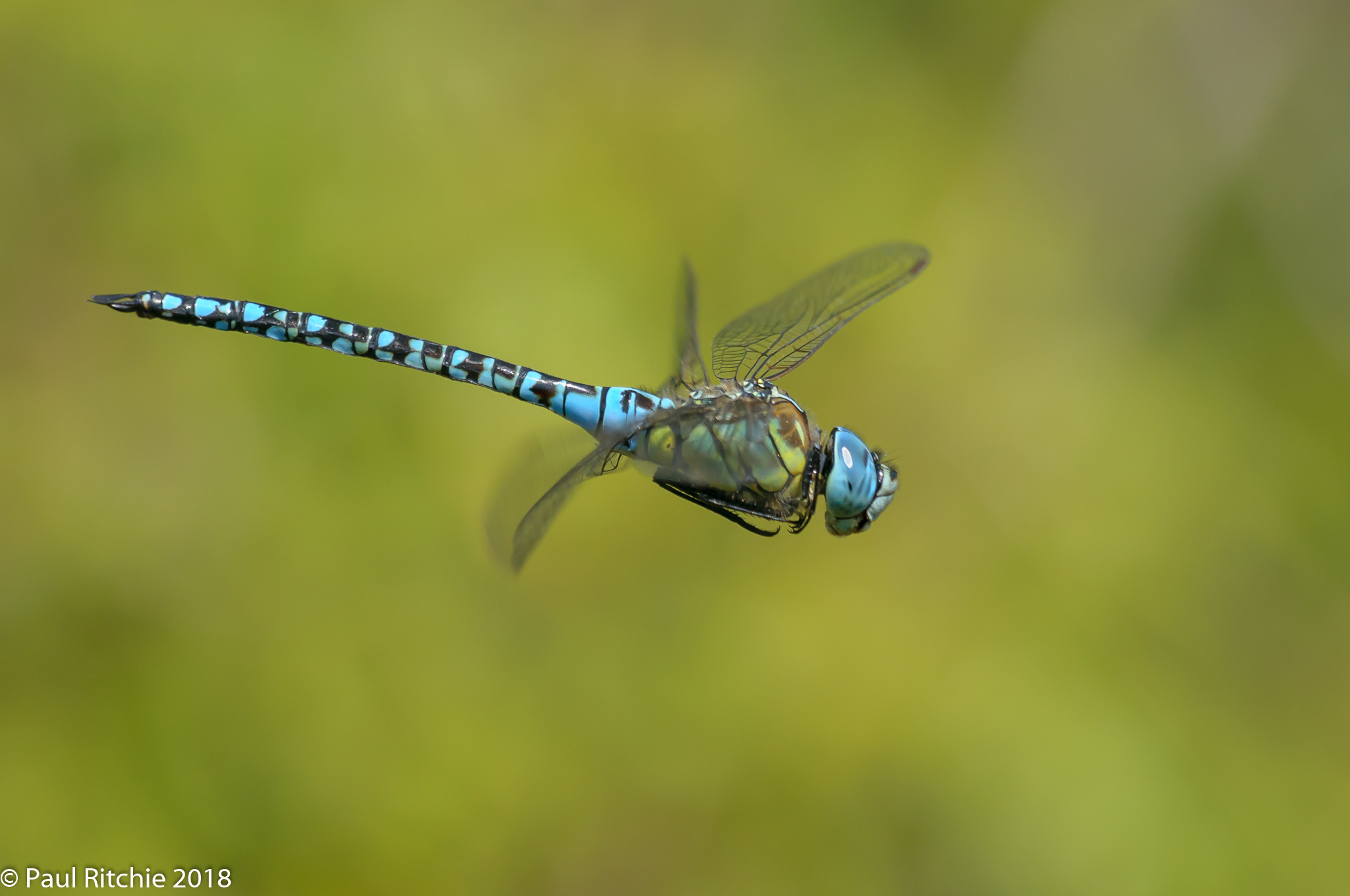 Blue-eyed (Southern Migrant) Hawker (Aeshna affinis) - male on patrol