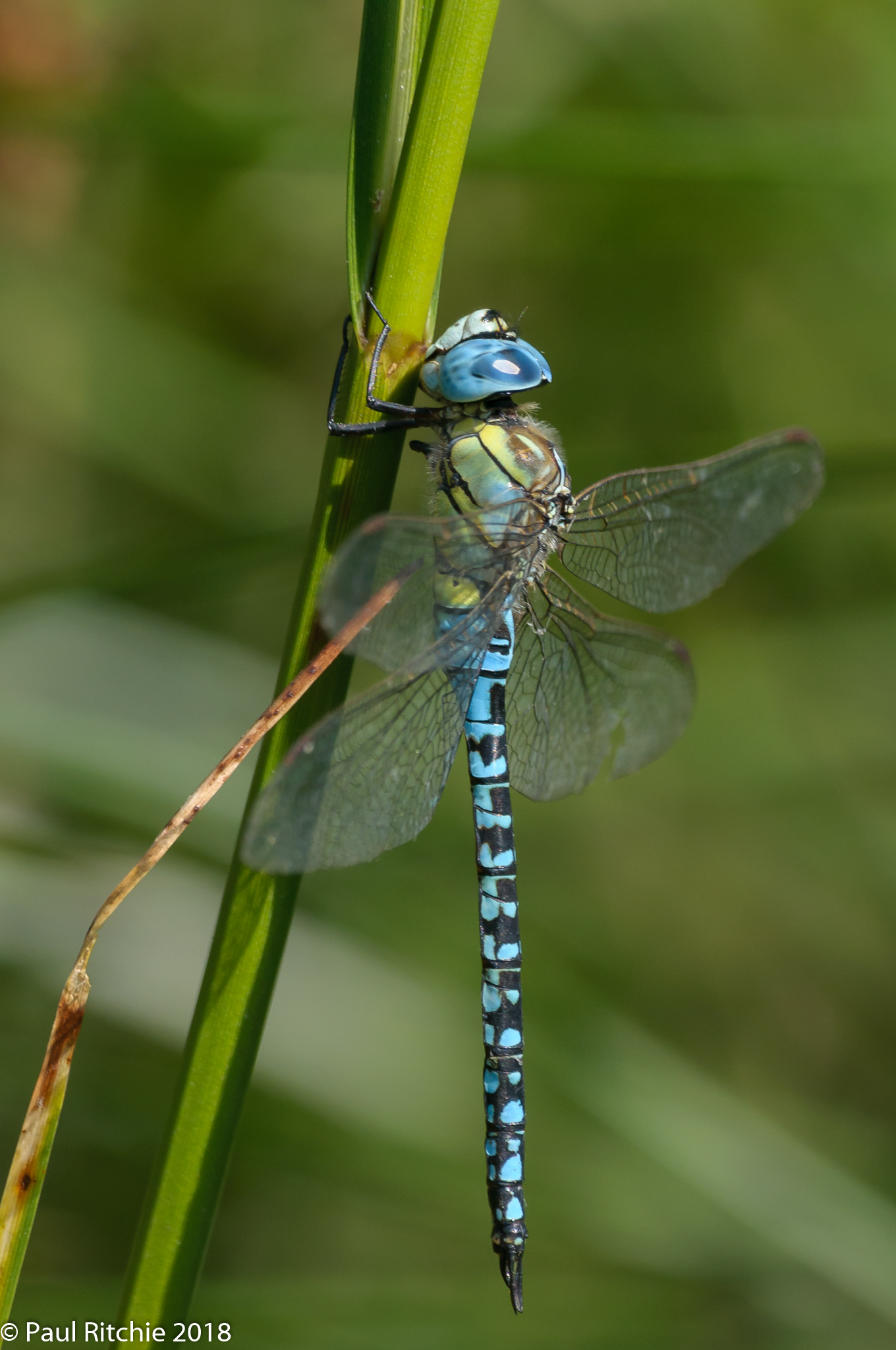 Blue-eyed (Southern Migrant) Hawker (Aeshna affinis) - male