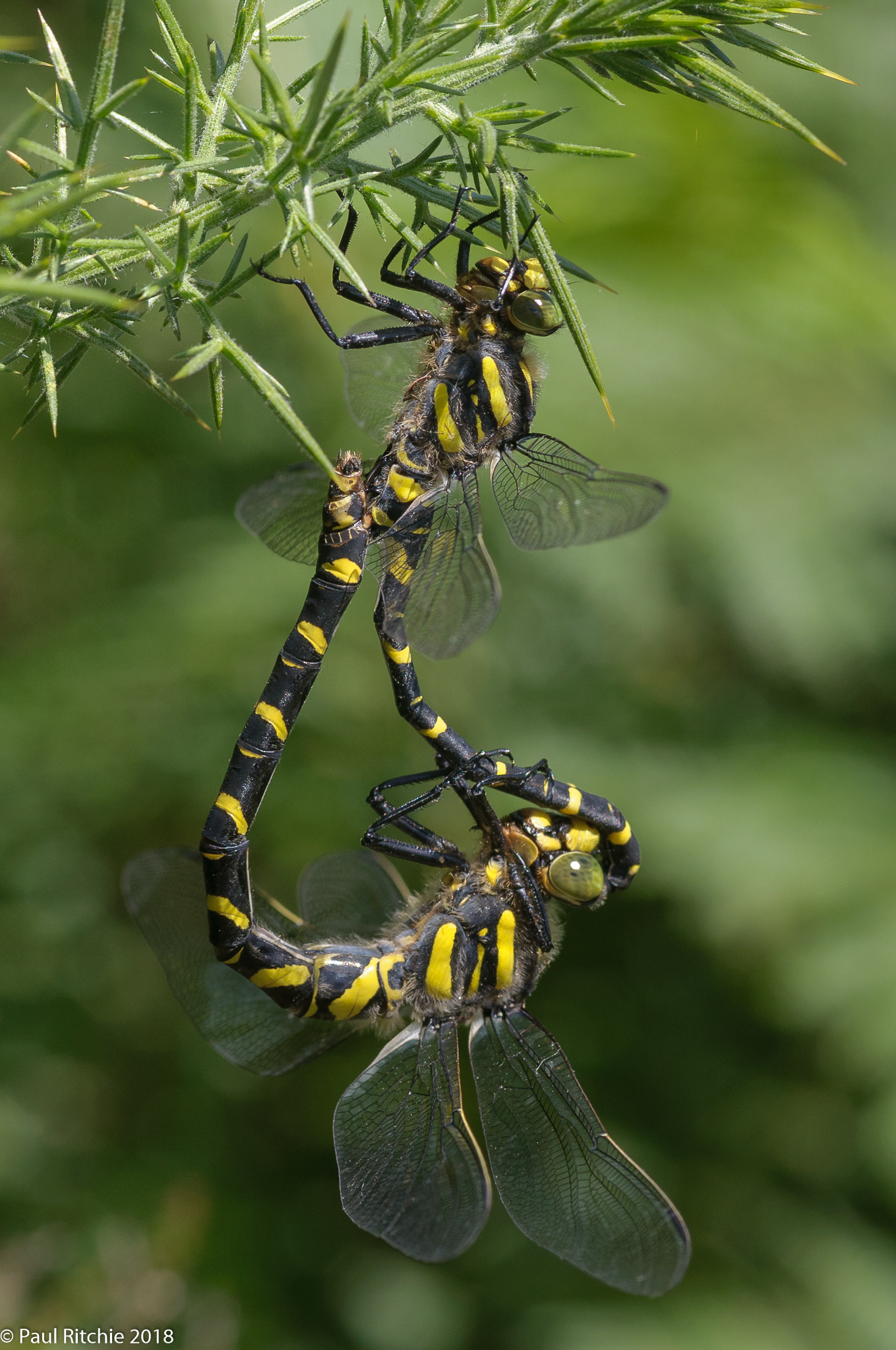 Golden Ringed Dragonfly (Cordulegaster boltonii) - pair in-cop