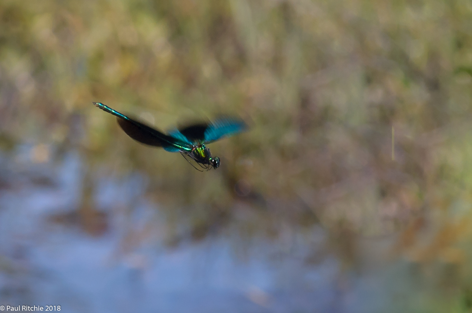 Beautiful Demoiselle (Calopteryx virgo) - male on patrol