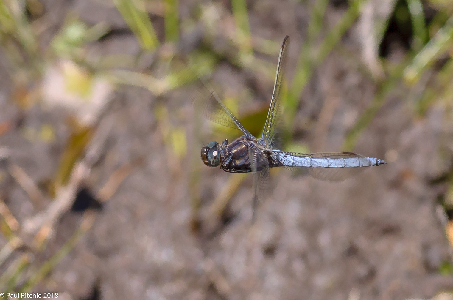 Keeled Skimmer (Orthetrum coerulescens) - male on patrol