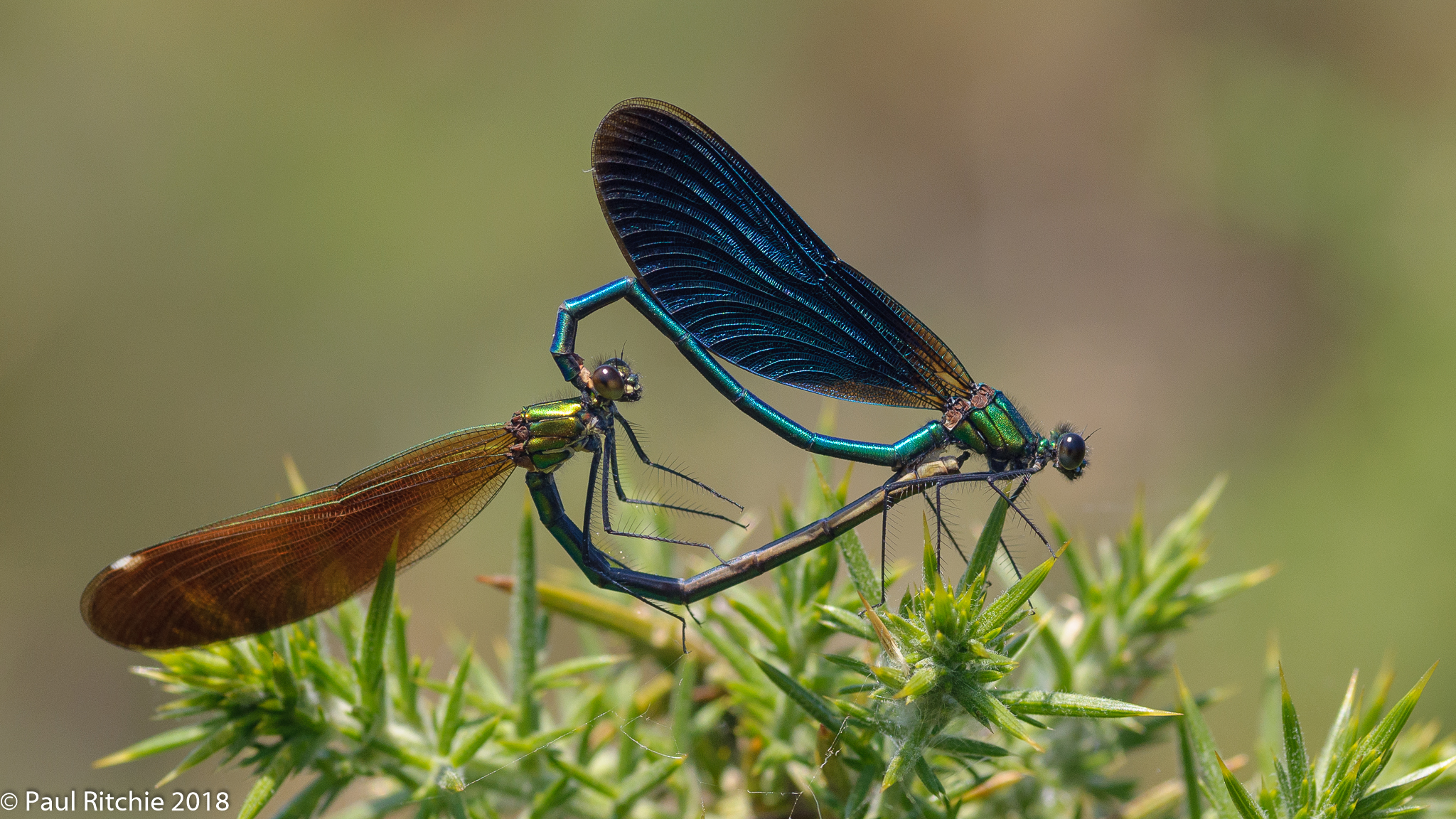 Beautiful Demoiselle (Calopteryx virgo) - pair in-cop
