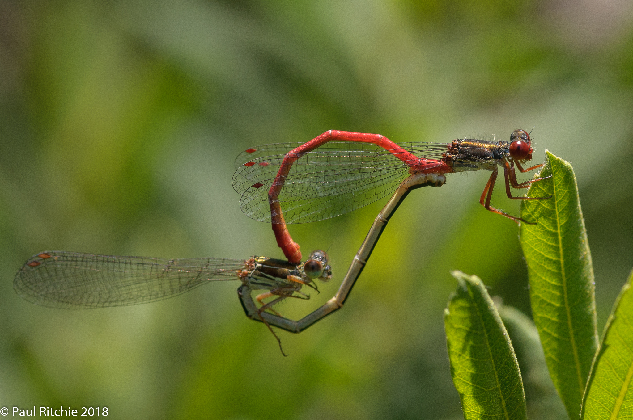 Small Red Damselflies (Ceriagrion tenellum) - pair in-cop