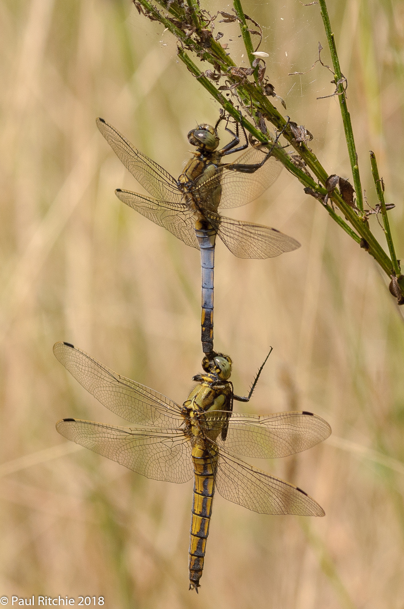 Black-tailed Skimmer (Orthetrum cancellatum) - pair in tandem