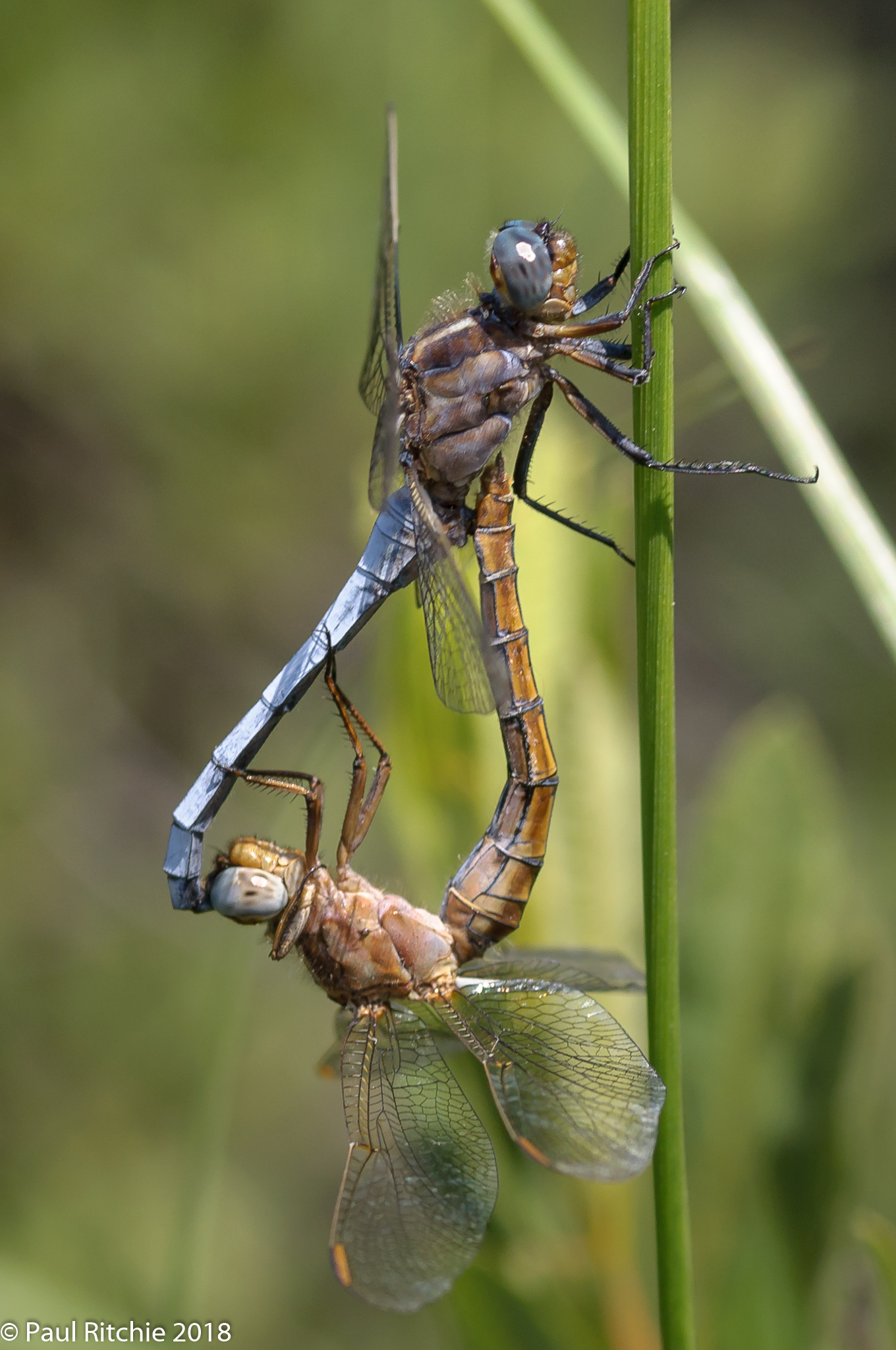 Keeled Skimmer (Orthetrum coerulescens) - pair in-cop